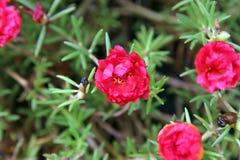 Rugosa de Rosa Fotografia de Stock Royalty Free