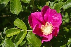 Rugosa de Rosa Fotografía de archivo libre de regalías