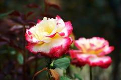 Rugosa di due rosa Fotografie Stock Libere da Diritti