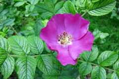 Rugosa nam toe of Japans nam toe (Rosa rugosa) Stock Foto's