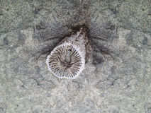 Rugosa oder Hornkorallenfossil Stockfotografie