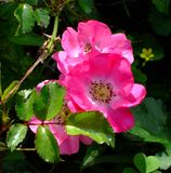 Rugosa Rose Fotos de archivo