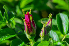 Rugosa Rose buds Royalty Free Stock Image