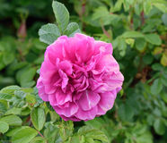 Rugosa rose. Rugosa rose bush, the sweetest smelling rose of it's kind..ideal for an English country garden...whatever country it's planted in Royalty Free Stock Images