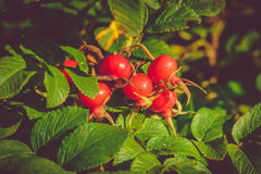 Rugosa Rose Hips Royalty Free Stock Image