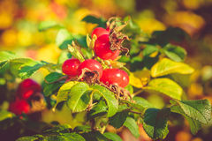 Rugosa Rose Hips Stock Image