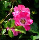 Rugosa Rose. Old fashioned Rugosa rose - invasive rosebush Stock Photos