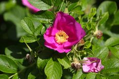 Rugosa Rose (Rosa rugose) Stock Photo
