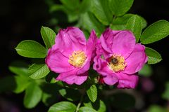Rugosa Rose (Rosa rugose) Stock Images