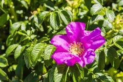 Rugosa Thunb de Rosa - fleur Photographie stock