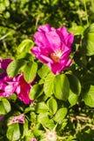 Rugosa Thunb de Rosa - Usine fleurissante Photo libre de droits
