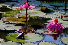 Rugose лягушка и Nymphaea Стоковые Изображения RF