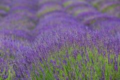ruhig blühende Felder des Lavendels stockbild