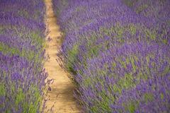 ruhig blühende Felder des Lavendels lizenzfreies stockbild