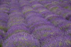 ruhig blühende Felder des Lavendels, Landschaft lizenzfreie stockfotografie