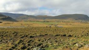 Ruhige alleine Landschaft von Weiden und von Feldern in Island im sonnigen Wetter im Fall, zwei Pferde stock video