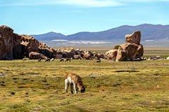 Ruhige grüne Landschaft mit Alpakas und Lamas, geologische Felsformationen auf Altiplano, Anden von Bolivien, Südamerika lizenzfreie stockbilder
