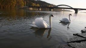 Ruhige Höckerschwäne, die auf den Fluss während des Herbstsonnenuntergangs schwimmen stock footage