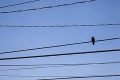 Ruhige Krähe auf elektrischen Drähten in Seattle lizenzfreies stockbild