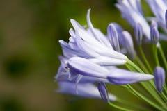 Ruhige purpurrote Blume Stockfoto