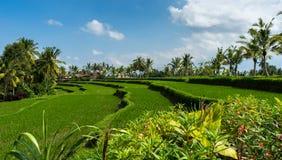 Ruhige Reis-Paddys lizenzfreie stockfotos