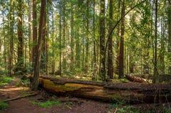 Ruhige Rotholzwaldung stockfotografie