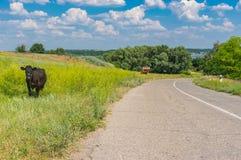 Ruhige Sommerlandschaft mit Landstraße und zwei Kühen Lizenzfreie Stockfotografie