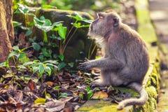 Ruhiger Affe in den grünen Blättern Lizenzfreies Stockfoto