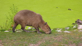 Ruhiger Capybara, der Gras isst Lizenzfreie Stockfotos