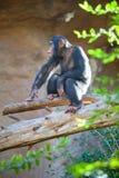 Ruhiger erwachsener Schimpanse, der auf Baumstamm in der Einschließung, Zoo Loro Parque, Teneriffa, Spanien spielt Lizenzfreie Stockbilder