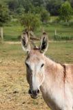 Ruhiger Esel Stockfoto