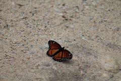 Ruhiger Monarch Stockfotos