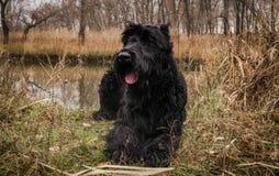 Ruhiger schwarzer Riesenschnauzer, der auf dem Ufer von einem sumpfigen Fluss stillsteht stockfotos
