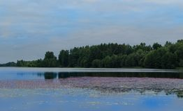 Ruhiger See mit rosa Blumen auf dem Wasser Lizenzfreie Stockfotos