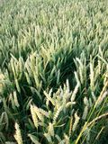 Ruhiges Getreidefeld, Northumberland, nr Crookham, England Großbritannien Lizenzfreies Stockbild
