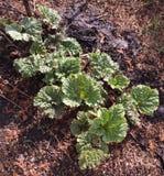 Ruibarbo orgánico Fotos de archivo