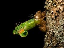 Ruiende cicade Stock Foto