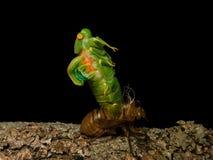 Ruiende cicade Stock Afbeelding