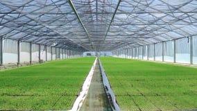 Ruime serre met het kweken van zaailingen Groene aanplantingen in serre stock footage