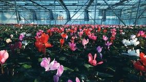 Ruime serre met overvloed van heldere bloemen stock footage