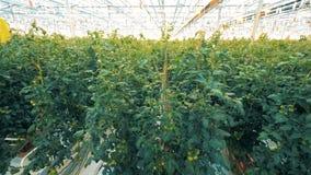 Ruime warmhouse met zelfs rijen van tomatenzaailingen stock footage