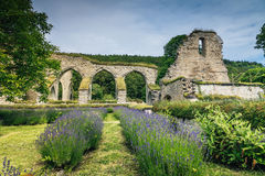 Ruin of a 900 year old monastery. Or cloister located at Alvastra in Sweden. Rows of purple lavender growing in the foreground royalty free stock photos