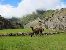 Ruinas del inca de Machu Picchu y llamas, Perú Foto de archivo libre de regalías