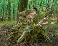 Ruined beech tree in forest, spring morrning in Medvednica. Park Zagreb royalty free stock images
