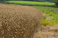 Ruined Crops Royalty Free Stock Photography