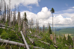 Ruined forest. By bark beetle Royalty Free Stock Photo