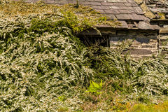 Ruined slate building with bushes Royalty Free Stock Photography