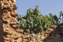 Ruined stonewall with fig branches sticking out behind Royalty Free Stock Images