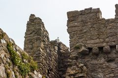 Ruined Walls with Herring Gull. Ruined castle walls with a Herring Gull Larus argentatus sitting on top Stock Photos