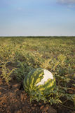Ruined watermelon. Watermelon with rabbit teeth marks. Agricultural disaster Stock Image